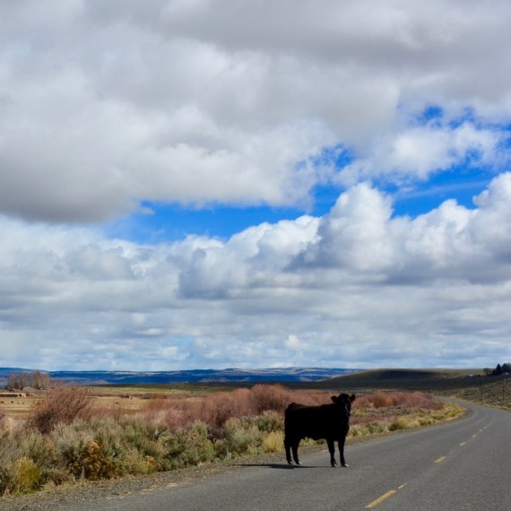A cow standing in the road at the Malheur National Wildlife Refuge. The occupiers believed that local ranchers should have free grazing rights at the refuge.